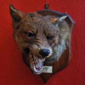 Vintage 1924 Mounted Fox Head with Original Plaque