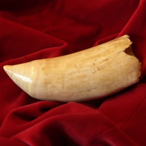 Antique Genuine Whale's Tooth
